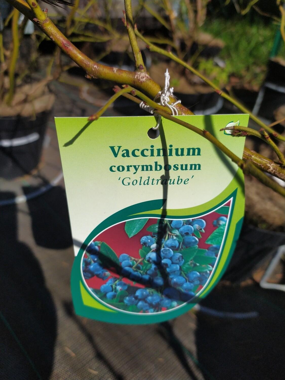 VACCINUM CORYMBOSUM 50/60 C3