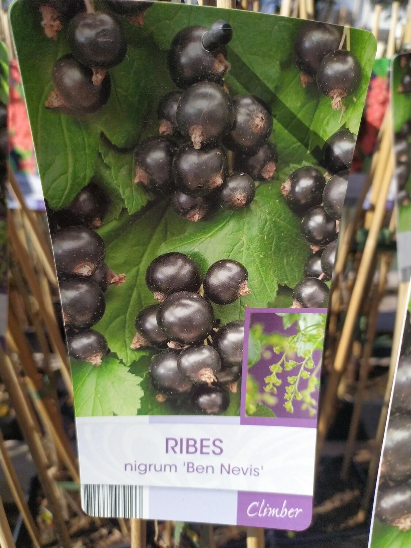 RIBES NIGRUM 'BEN NEVIS' 50/60 C