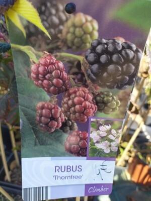 RUBUS 'THORNFREE' 50/60 C