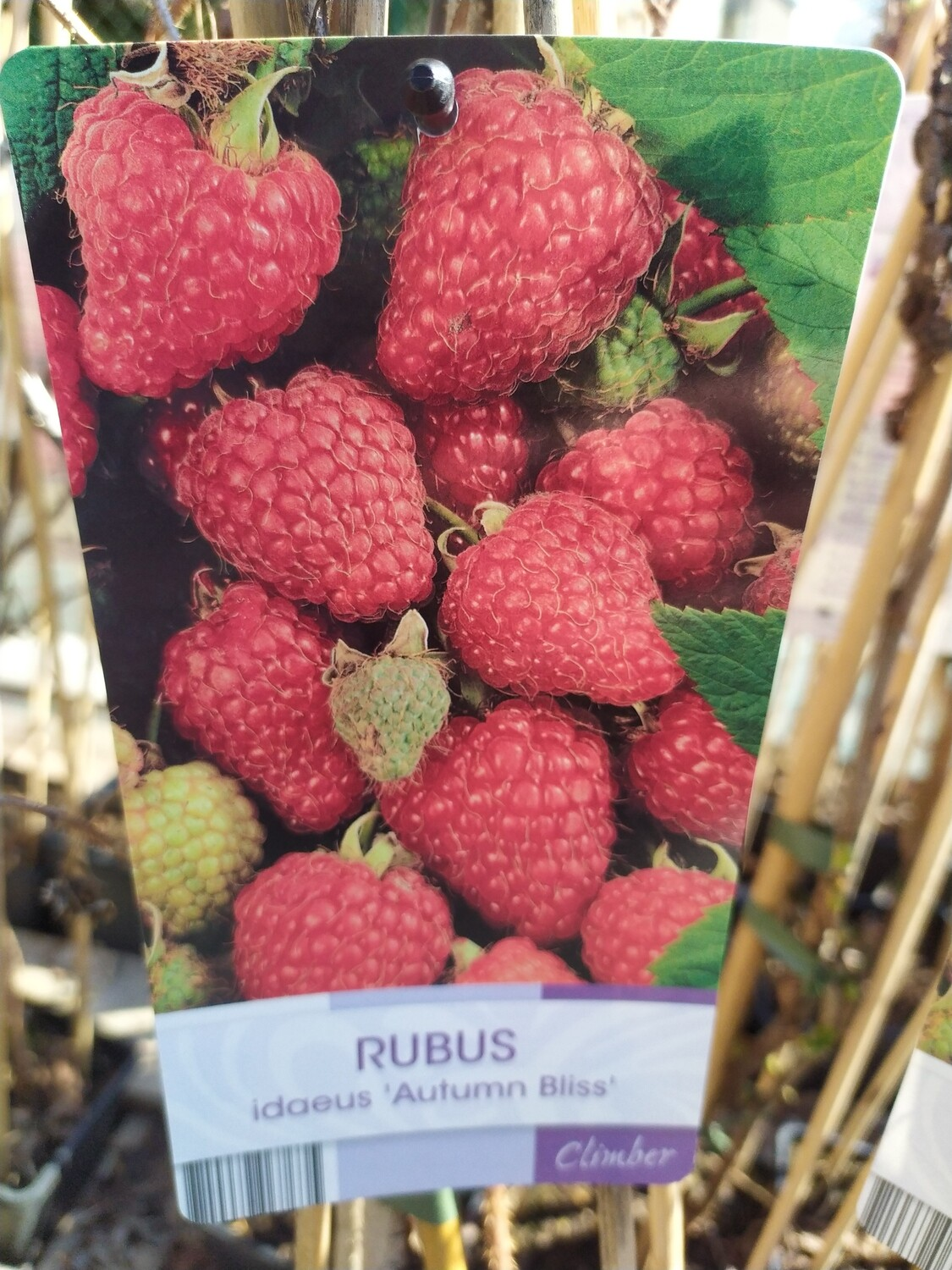 RUBUS 'AUTUMN BLISS' 50/60 C3