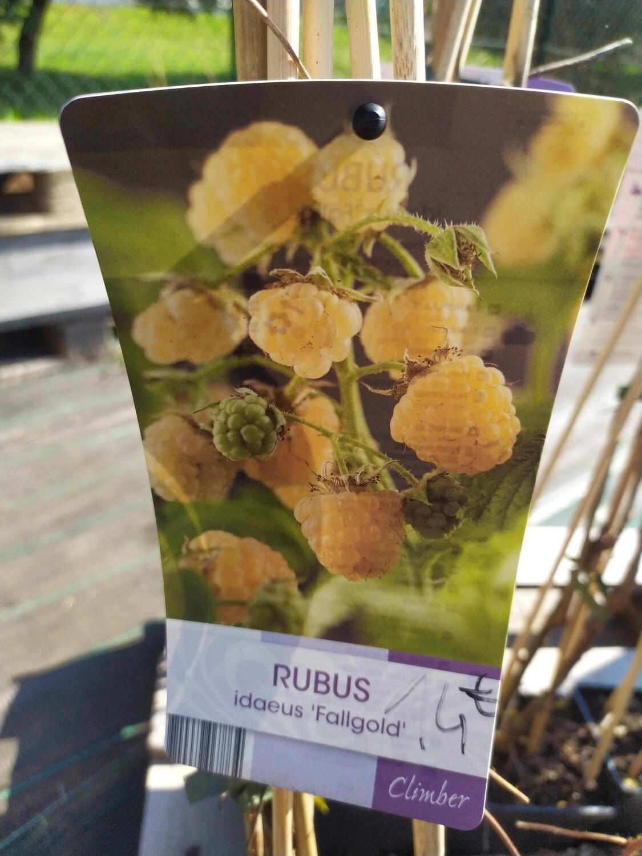 RUBUS 'IDEUS FALLGOLD' 50/60 C3