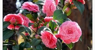 CAMELLIA JAPONICA ROSE 50/70 C5