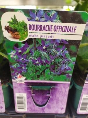 BOURRACHE, godet 9cm
