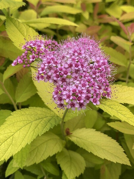 SPIRAEA JAPONICA 'ANTHONY WATERER' C3