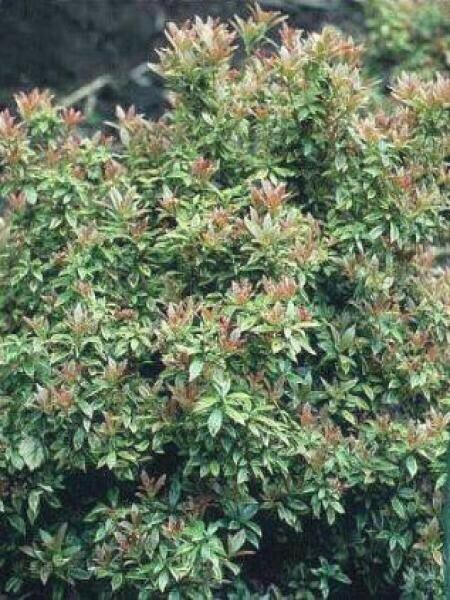 PIERIS JAPONICA 'LITTLE HEATH' 20/30 C2