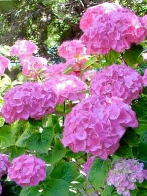 HYDRANGEA (=HORTENSIA) MACR. 'BOUQUET ROSE' 25/30 C