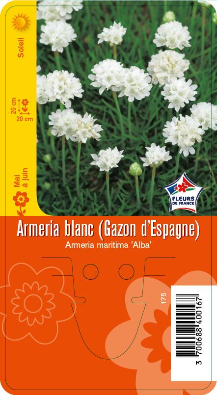ARMERIA BLANC (GAZON D'ESPAGNE)