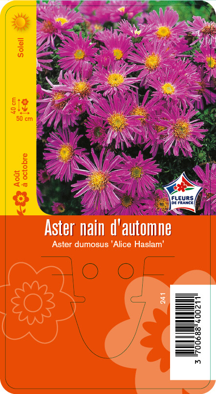 ASTER 'ALICE HASLAM'