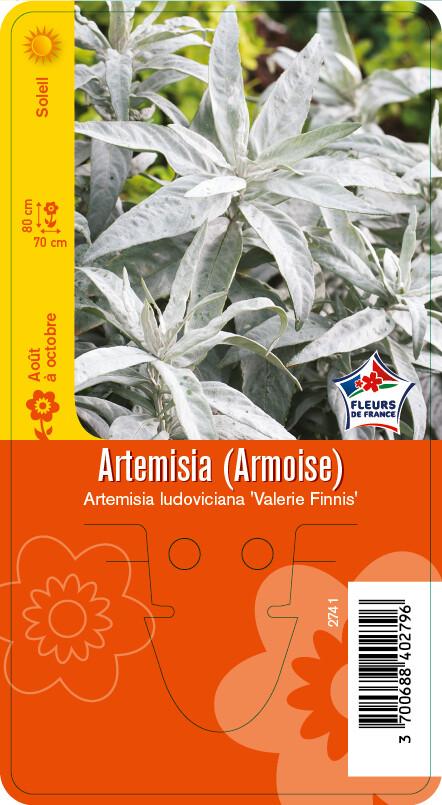 ARTMESIA (ARMOISE) 'POWIS CASTLE'