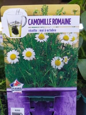 CAMOMILLE ROMAINE, godet 9cm