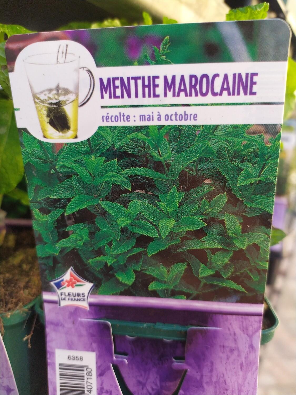 MENTHE MAROCAINE, godet 9cm