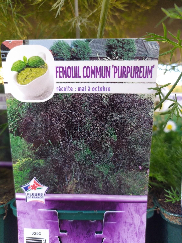 FENOUIL COMMUN POURPRE, godet 9cm