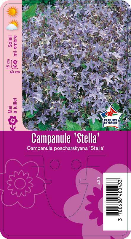 CAMPANULE STELLA