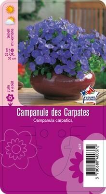 CAMPANULE DES CARPATES
