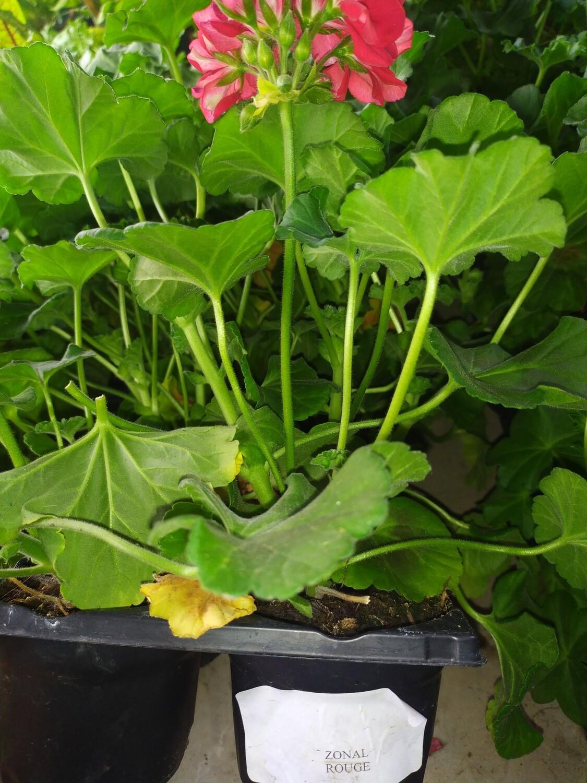 GERANIUM ZONAL, barquette de 6 plants