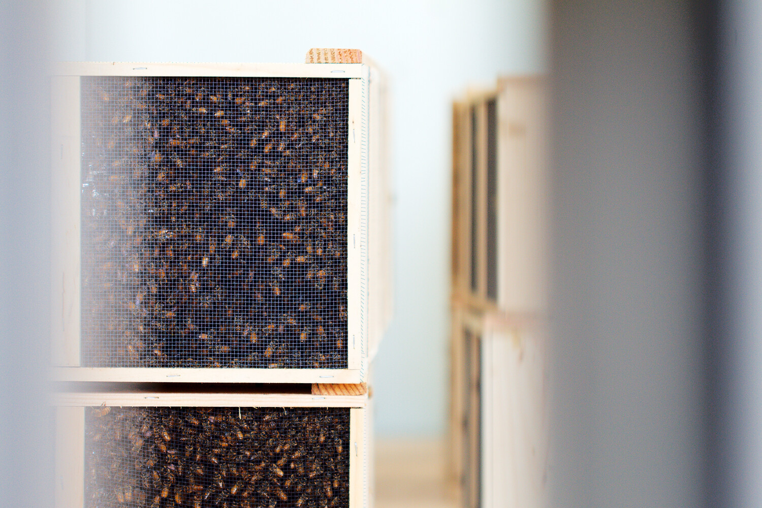 Live Bee Package With Queen