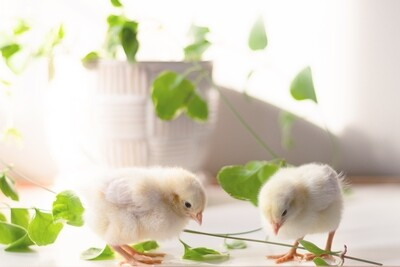 Live Baby Chicks, May 19, Delivery