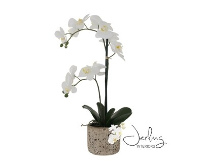 White Orchid in Cement Pot