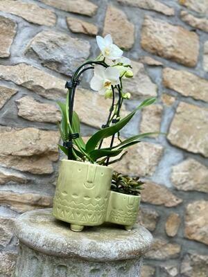 Orchidee avec succulent cache-pot vert