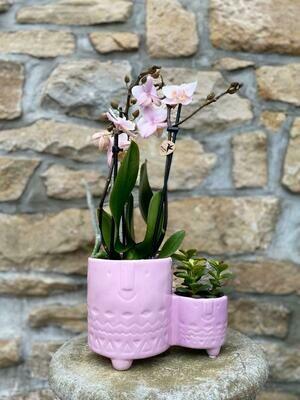 Orchidee avec succulent cache-pot rose
