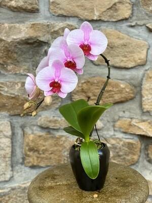 Orchidee avec cache-pot noir