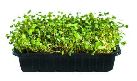 Микрозелень люцерна