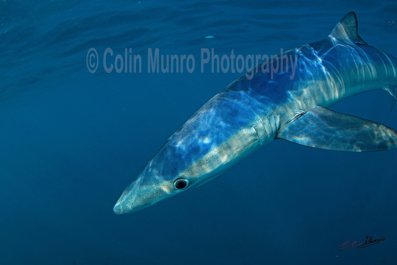 Blue Shark 10x15 acrylic
