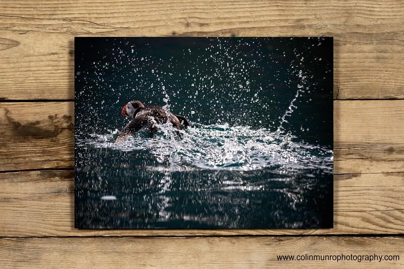 Atlantic Puffin taking off 10x15 acrylic