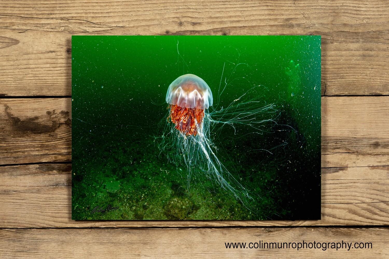 Lion's mane jellyfish 10x15 acrylic