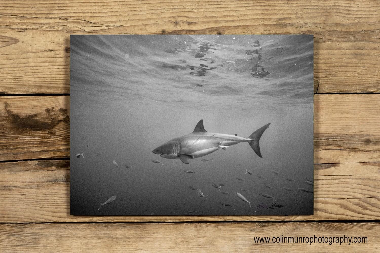 Great White Shark 16 x 24 giclee print