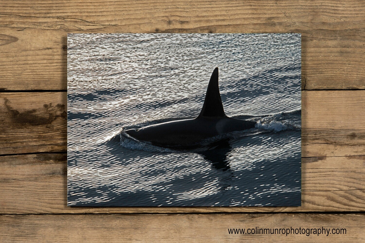 Orca at sunset 24 x 16 Giclee