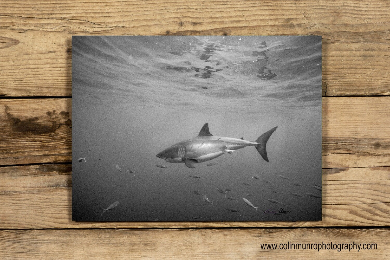 Great White Shark 10x15 acrylic