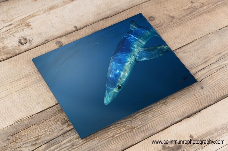 Blue Shark 16 x 24 giclee print