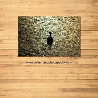 Swan at sunset 16 x 24 Canvas wrap
