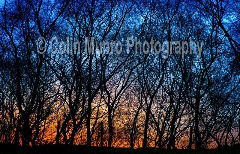 Sunset through birch. 16 x 24 Canvas wrap