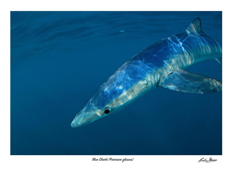 Blue shark signed print