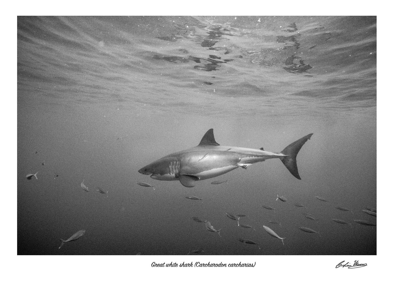 Great white shark signed print