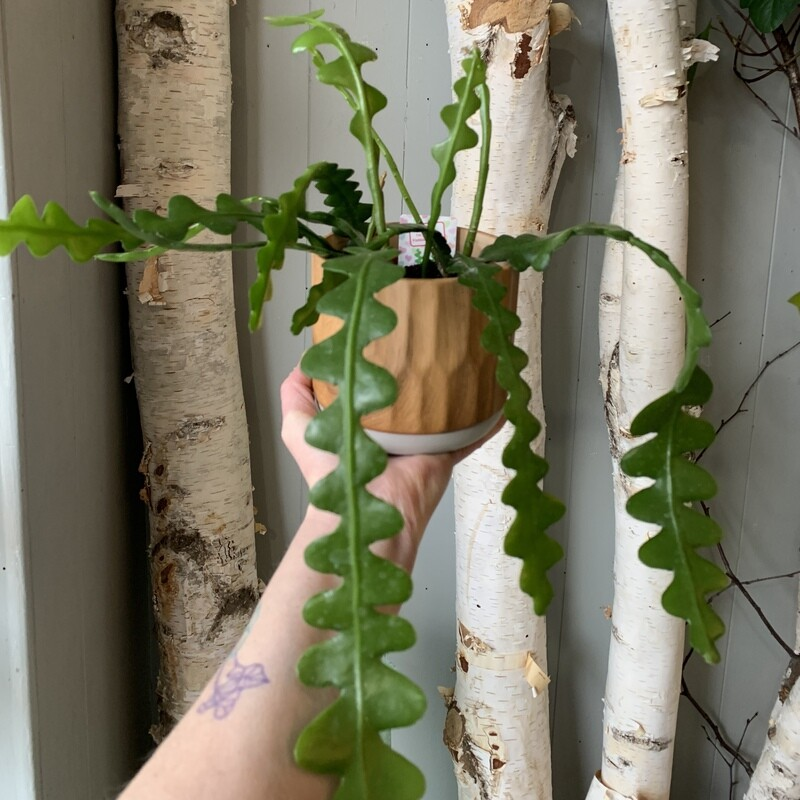"""4"""" Fish Bone Cactus"""
