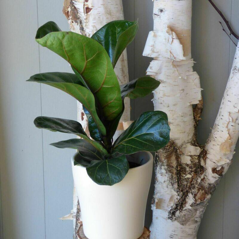 "5"" Ficus Lyrata Dwarf"