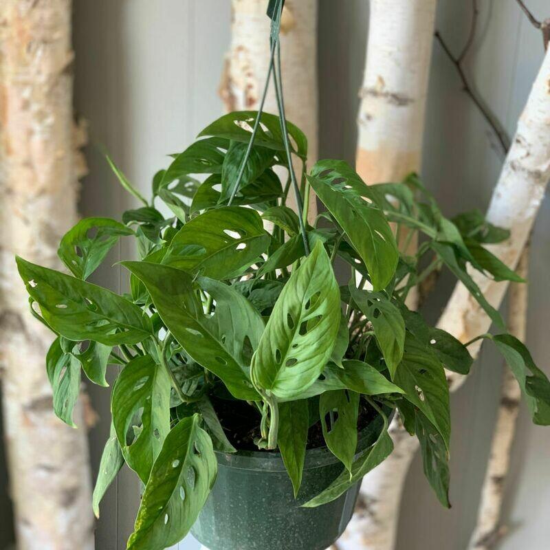 """10"""" Hanging Basket Adansonii"""