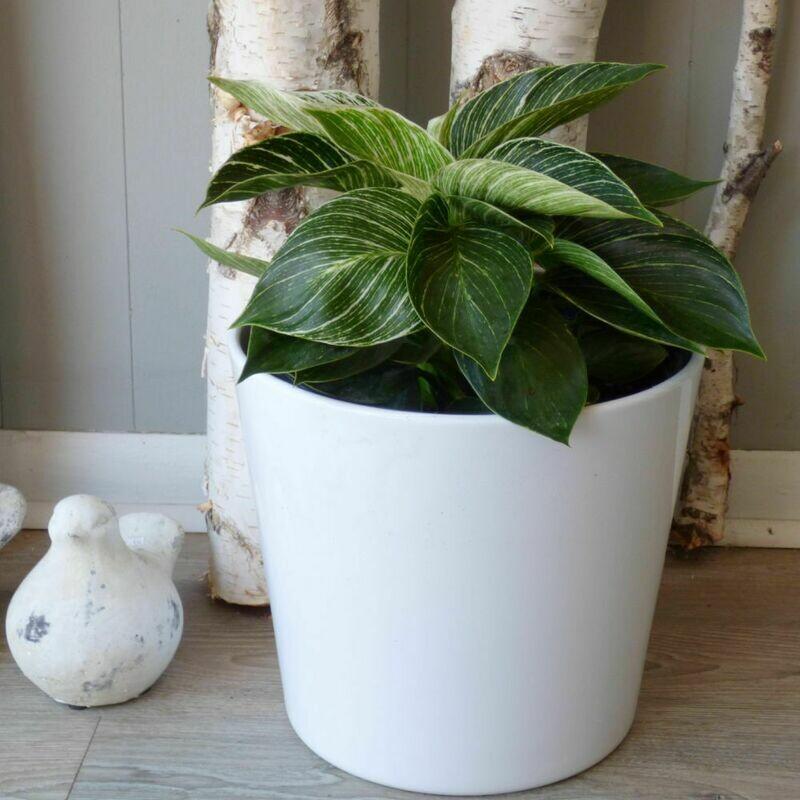 "10"" Philodendron Birkin"