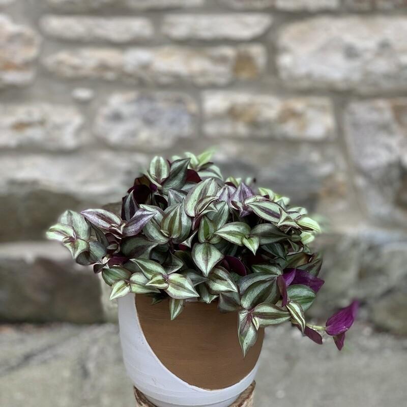 "5"" Tradescantia Purple"