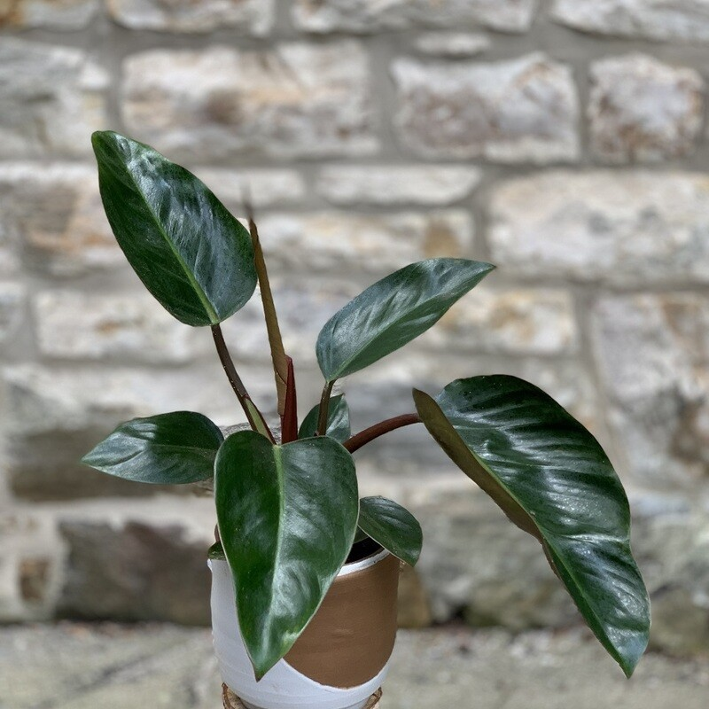"""5"""" Philodendron Red Diamond"""
