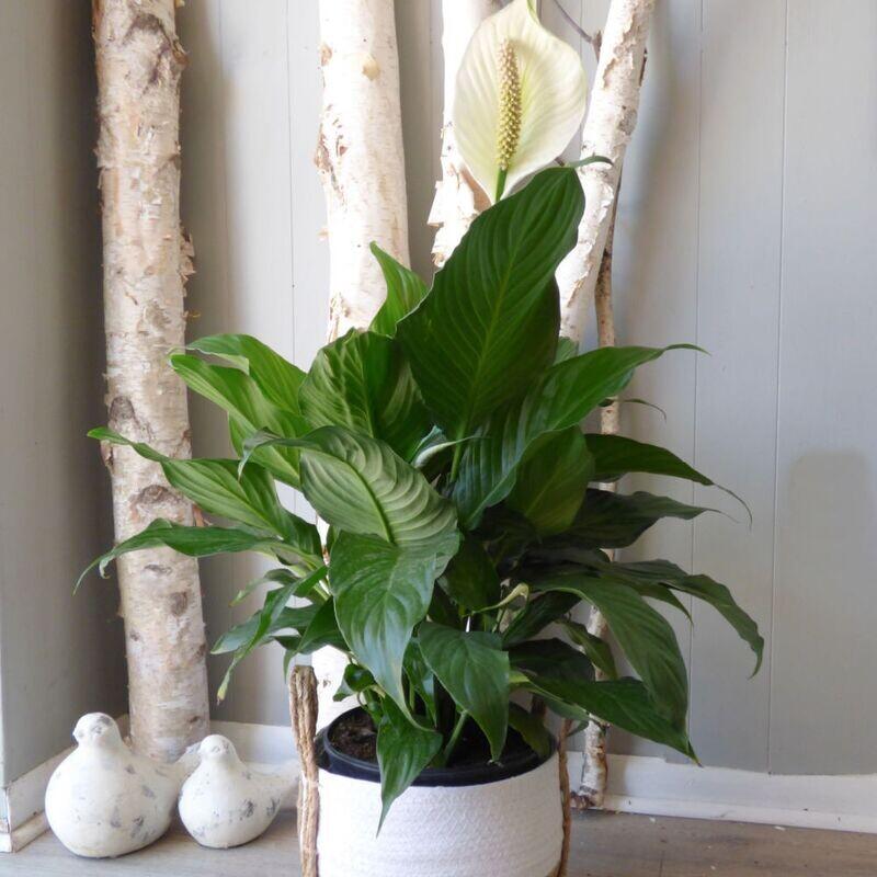 "10"" Spathipyllum Peace Lily"