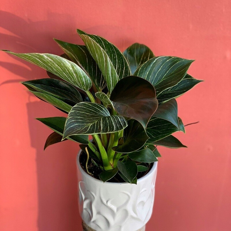 "5"" Philodendron Birkins"