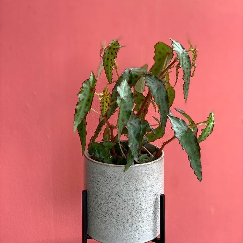 "4"" Begonia Amphioxus"