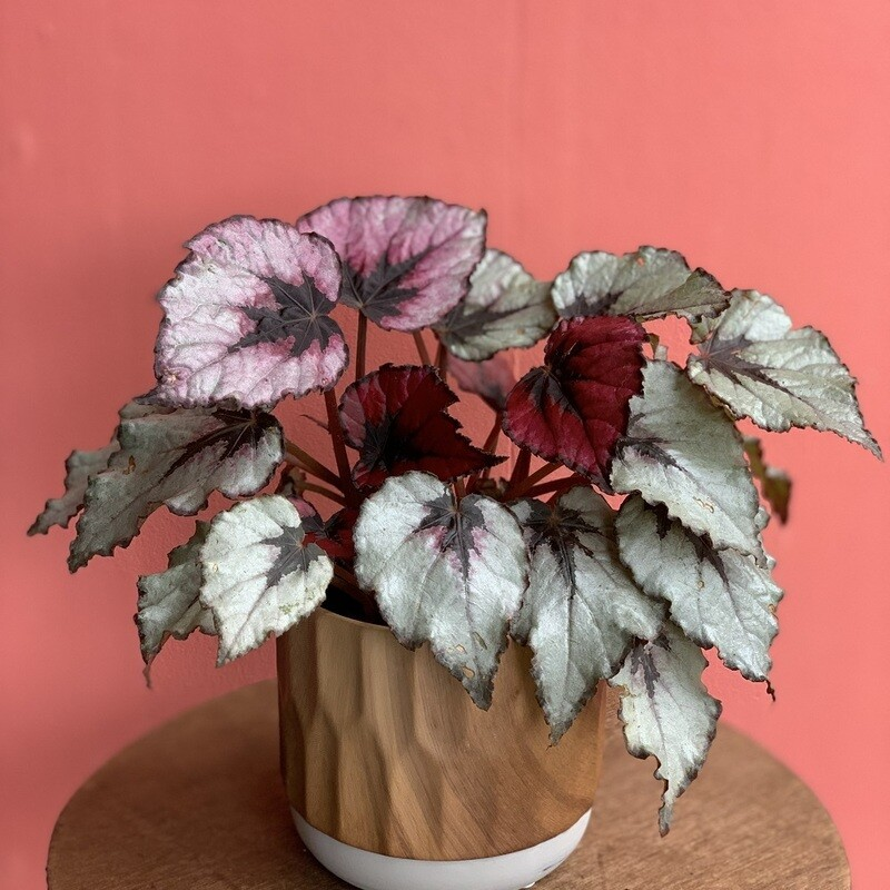 """4"""" Begonia Rex Red, Silver"""