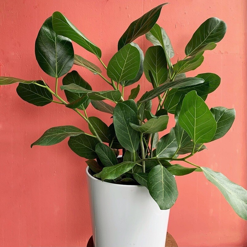 "10"" Ficus Audrey"