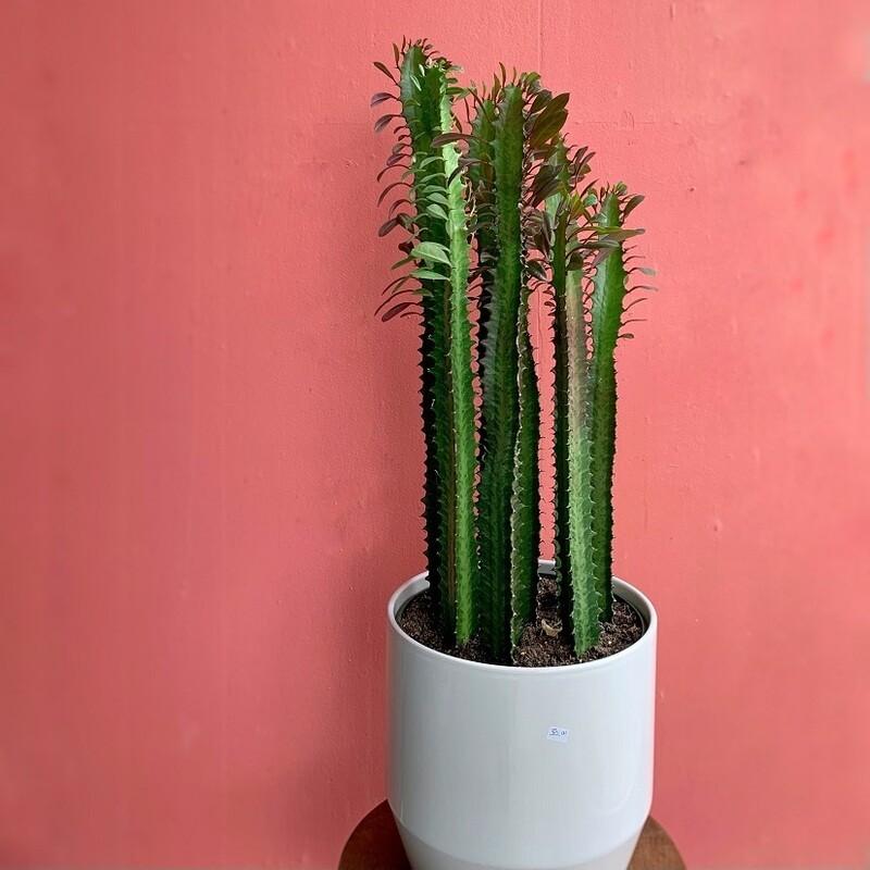 """8"""" Trigonia Cactus"""
