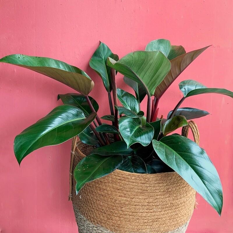 """10"""" Philodendron Cogo Rojo"""